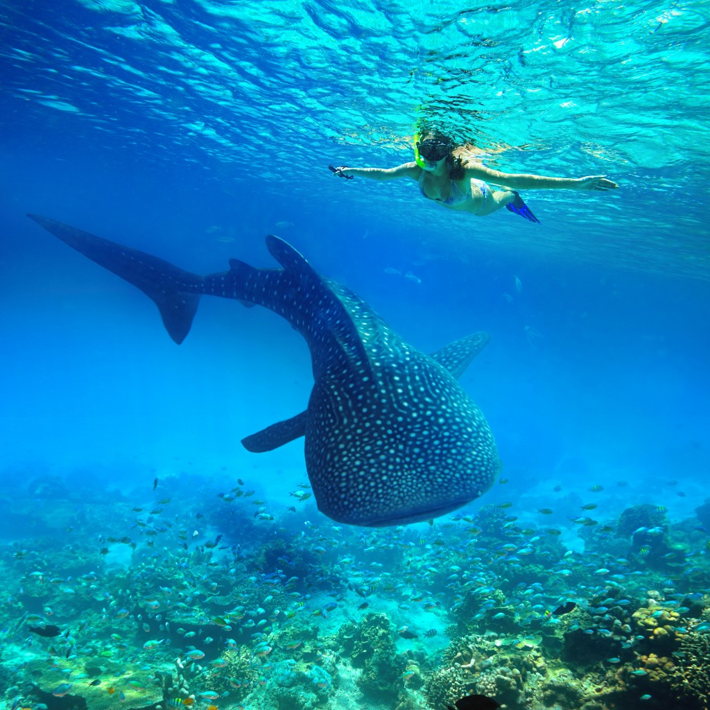 Woman snorkeling near a whale shark